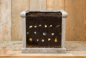 dry bulb layer planting Ibulb_213388