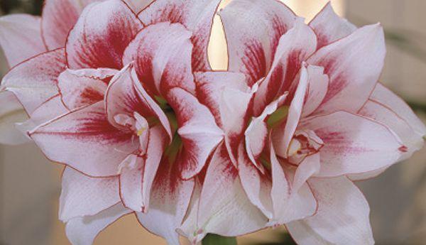 Elvas - Hippeastrum - Amaryllis - Flowering in Winter