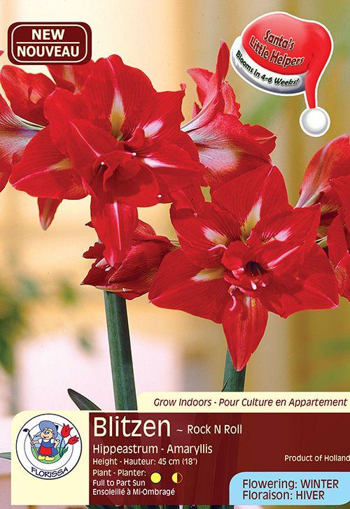 Blitzen - Rock N Roll - Hippeastrum Amaryllis - Flowering in Winter