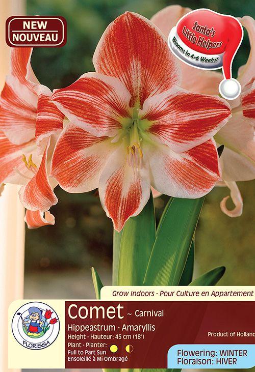 Comet - Carnival - Hippeastrum Amaryllis - Flowering in Winter