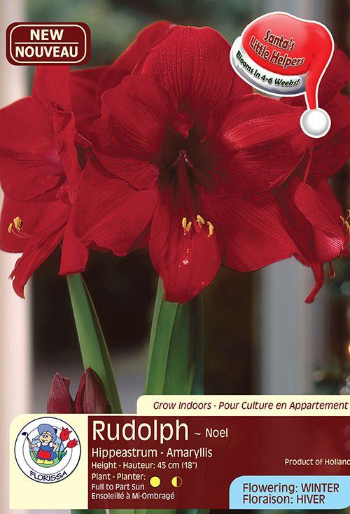 Rudolph - Noel - Hippeastrum Amaryllis - Flowering in Winter
