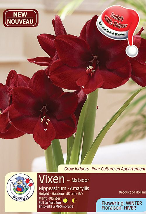 Vixen - Matador - Hippeastrum Amaryllis - Flowering in Winter