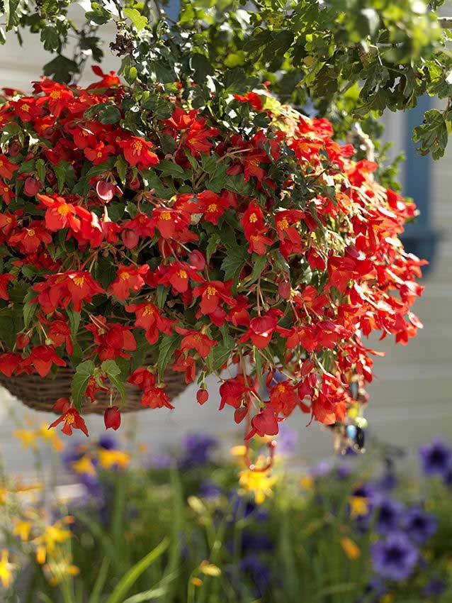 Begonia 'Bertini Skaugum'