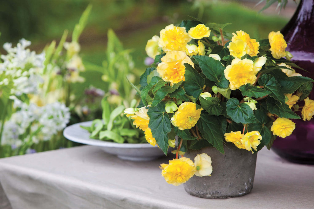 Potted Yellow Begonia - Grandiflora