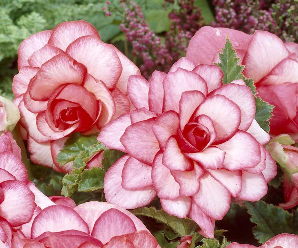 Begonia 'Bouton de Rose'