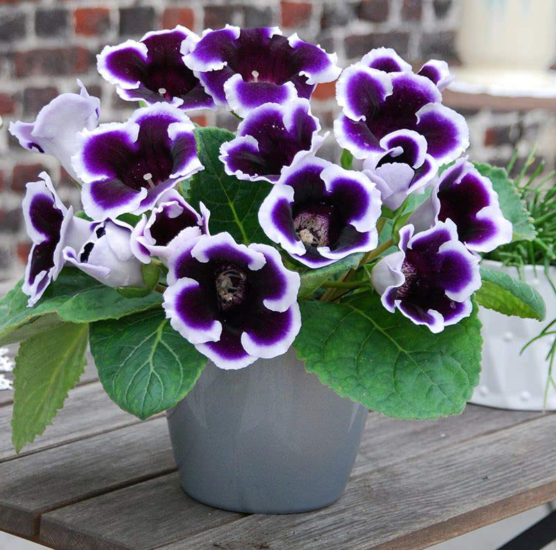 Gloxinia Emperor Wilhelm has deep to near black purple blooms with a white edge