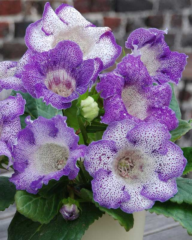 Each bloom of Gloxinia Tigrinia Blue is uniquely speckled in lavender on white.