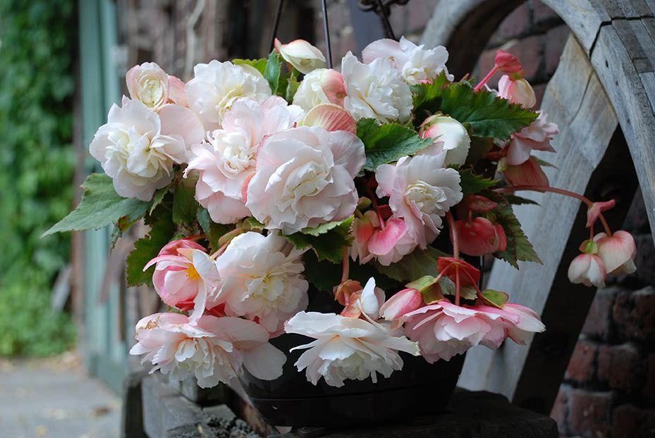 Begonia 'Angelique' Odorata