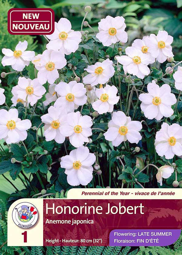 Honorine Jobert - Anemone Japonica - Flowering in Late Summer