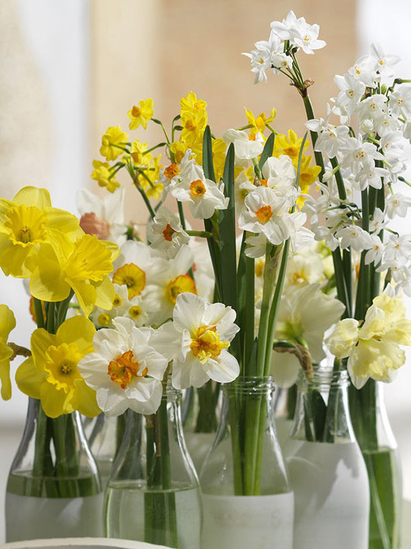 Cut Daffodils in Milk Bottle Vases