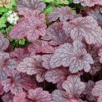 Heuchera Plum Pudding (smFileSize)