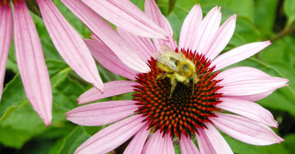 Bee on Echinacea pur Magnus