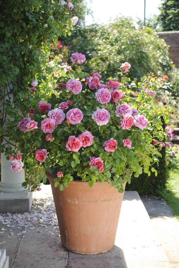 Successful Container Roses Florissa Flowers Roses