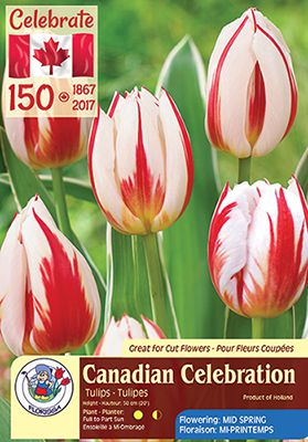 Canadian Celebration - Tulips - Flowering in Mid Spring - Canadian Celebration