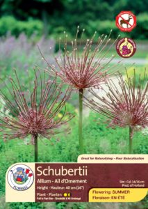 Schubertii - Allium - Flowering in Summer