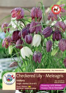 Checkered Lily - Meleagris Fritillaria - Flowering in Late Spring
