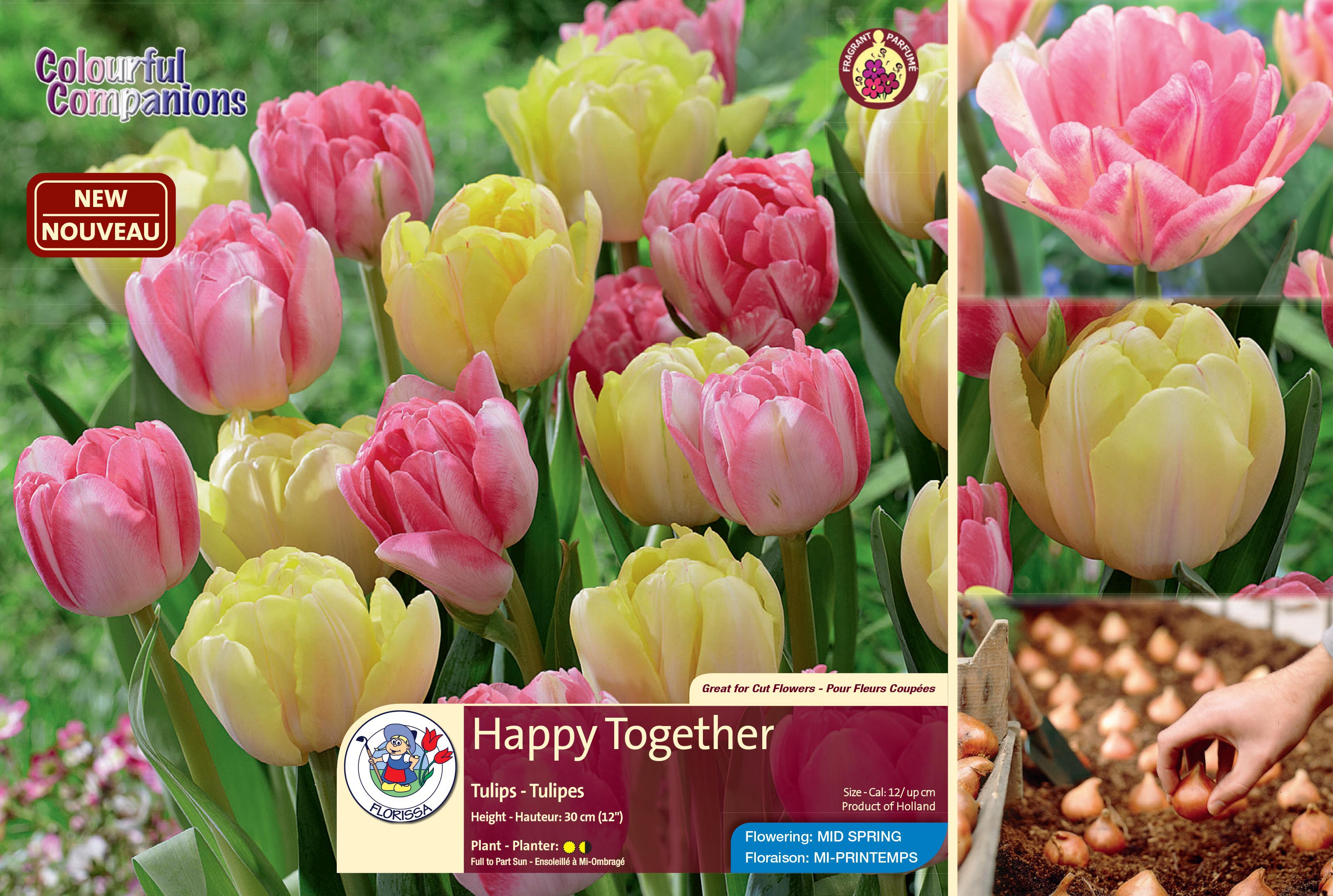 Happy Together Fragrant Tulips Flowering In Mid Spring