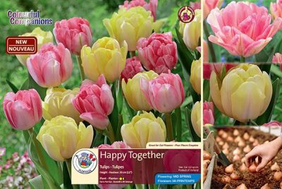 Happy Together - Tulips - Flowering in Mid Spring