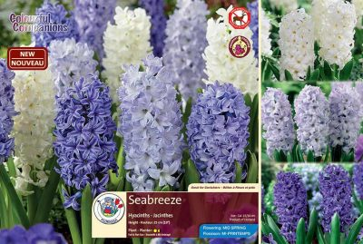 Seabreeze - Hyacinths - Flowering in Mid Spring