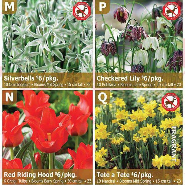 Fairytale Gardens - Silverbells, Checkered Lily, Red Riding Hood, Tete a Tete