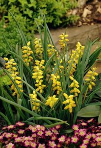 Muscari Marcocarpum - Golden Fragrance