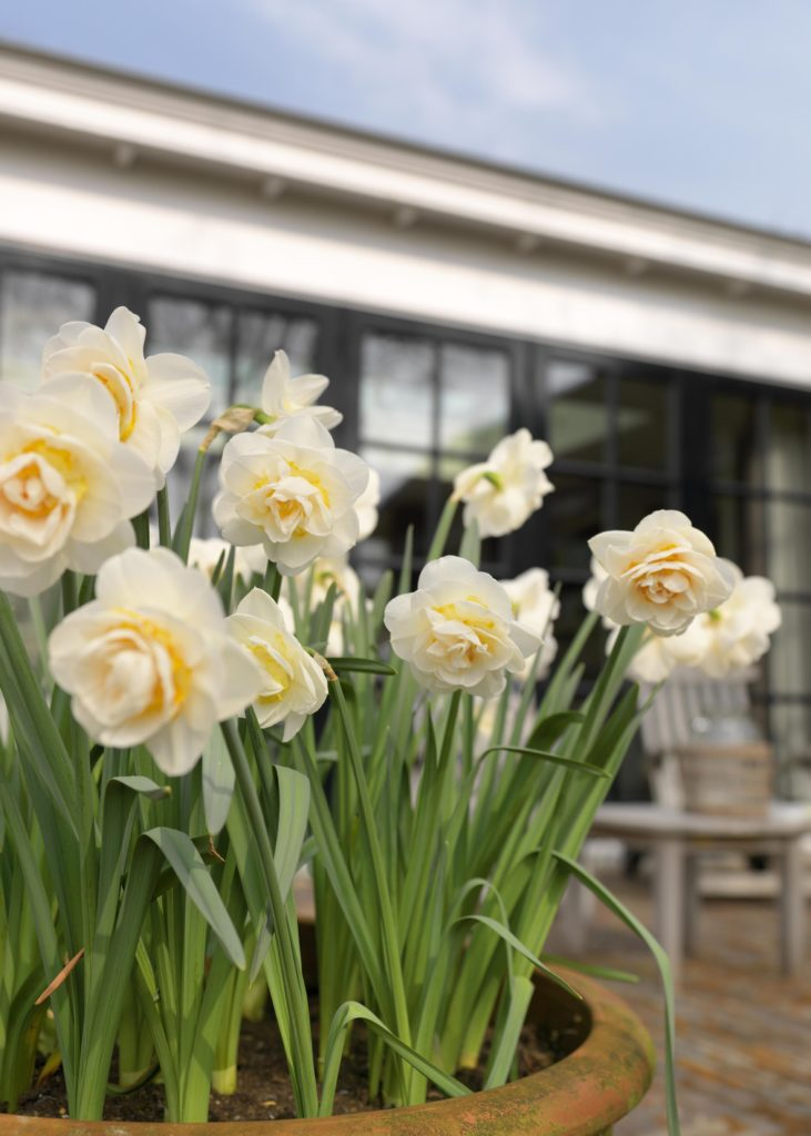 Narcissus Bridal Crown - Spring Garden 2014 - Wild and Bold