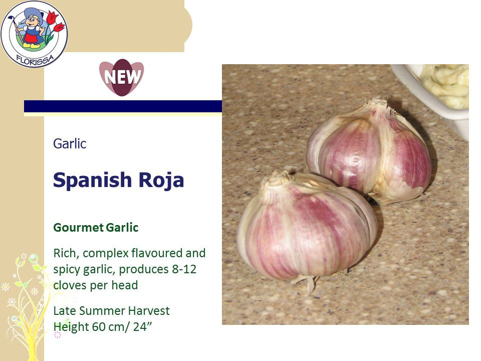 Spanish Roja Gourmet Garlic New For Fall Florissa