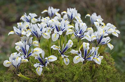 Iris Reticulata - Eye Catcher - Top Pick for Fall