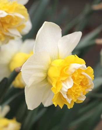 Narcissus Wave - Bloom - Beautiful White and Yellow