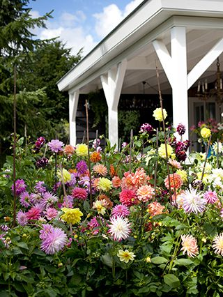 Mixed Summer Dahlia Flower Garden