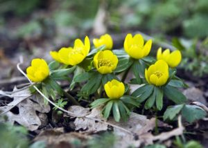 Yellow Eranthis - Flowering in Spring
