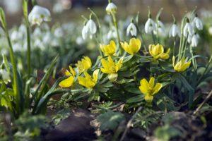 Yellow Eranthis - Flowering in Spring