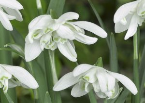 Galanthus Nivalis Flora Pleno - Up and Close - Double Snowdrop