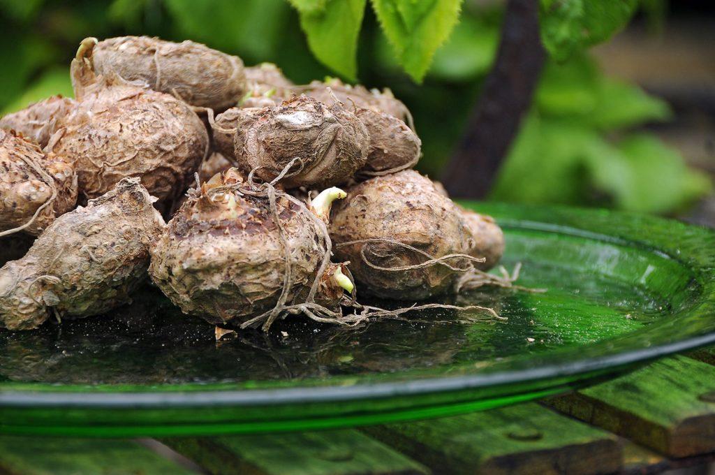 Zantedeschia Calla Lily - Dry Bulbs