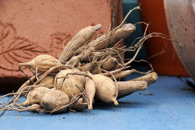 Dry Dahlia Bulbs