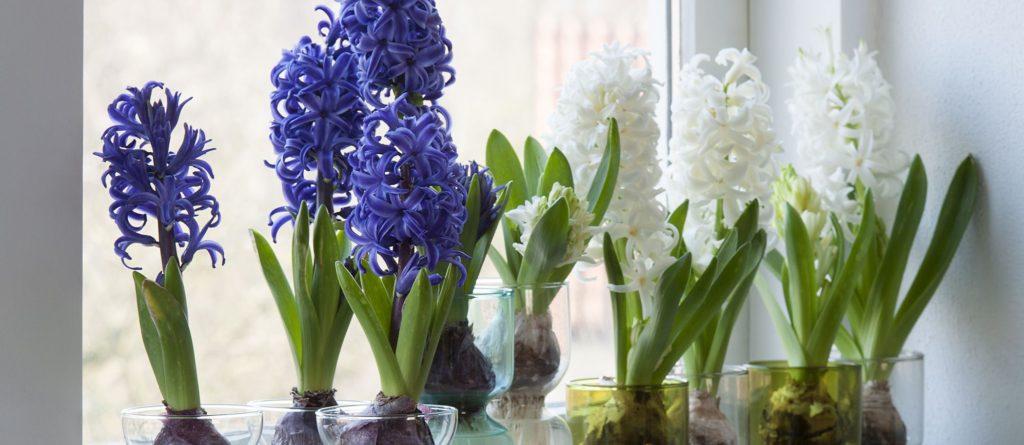 Glorious Indoor Hyacinths