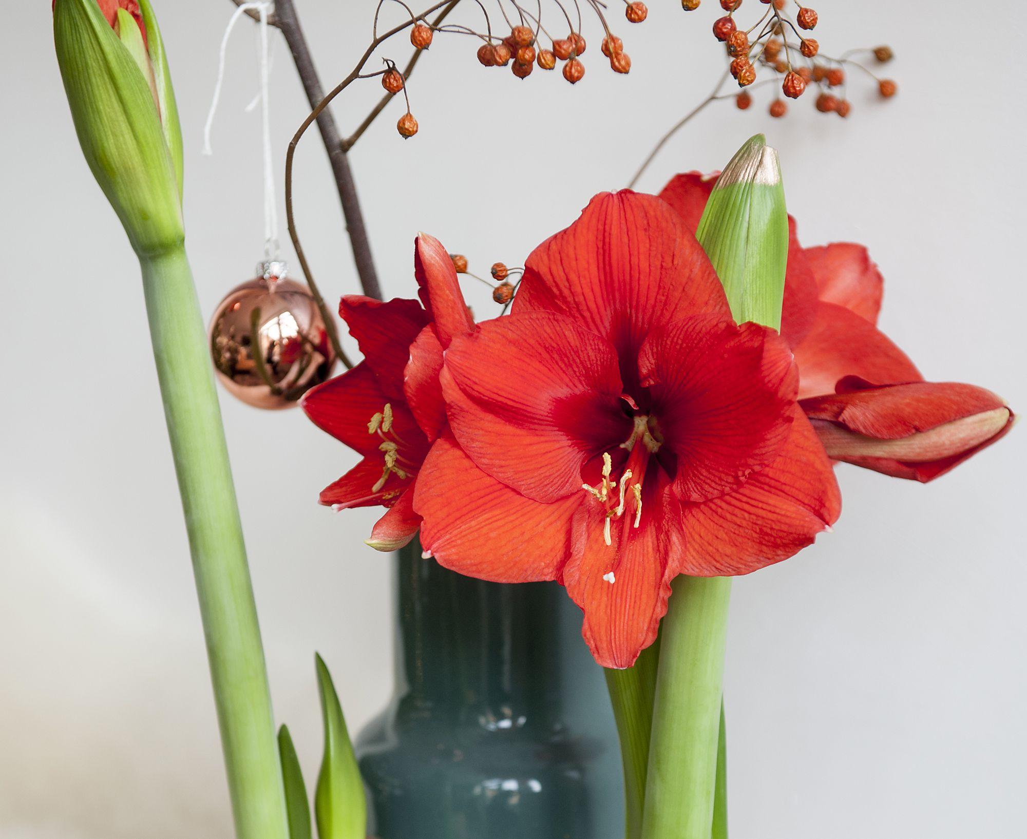 Holiday Indulgence Waxed Amaryllis Florissa Flowers Amp Roses
