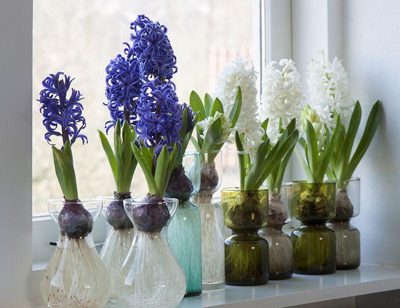 Effortless Indoor Hyacinths Florissa Flowers Roses Amp More