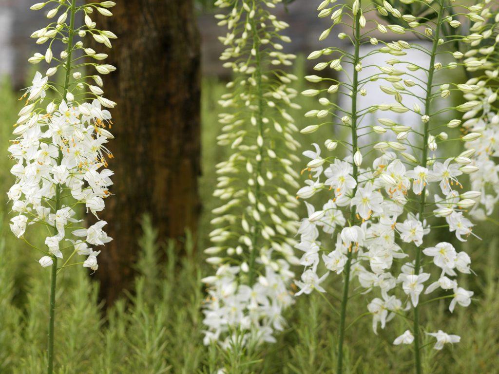 Foxtail Garden