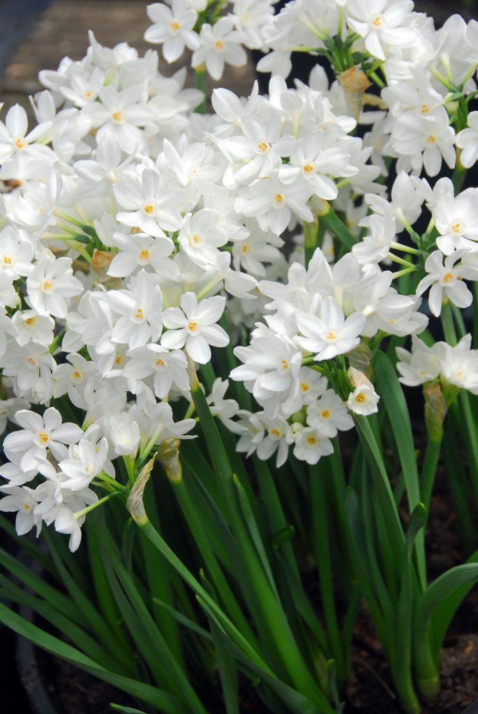 Paperwhite Ziva Flowers