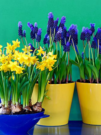 Forcing Bulbs Narcissus Muscari