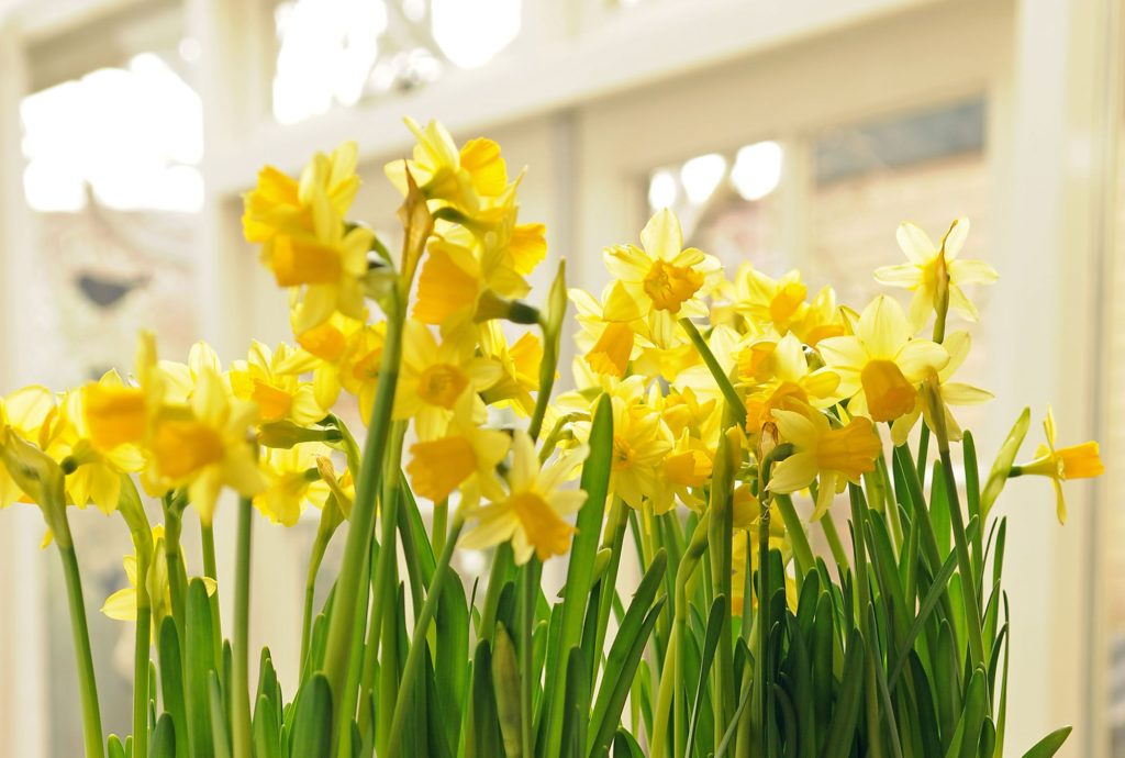Narcissus - Forcing Bulbs for Spring Flowers