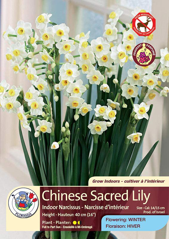 Chinese Sacred Lily - Indoor Narcissus - Flowering in Winter