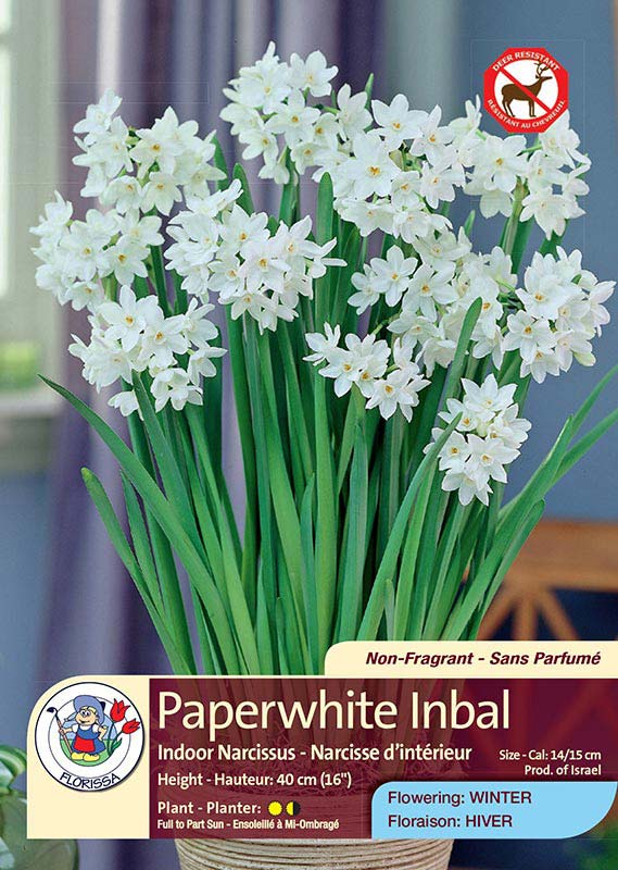 Paperwhite Inbal - Indoor Narcissus - Flowering in Winter
