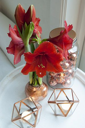 Waxed Amaryllis Bulbs Full Grown