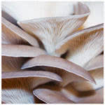 Blue Oyster Mushroom Culture