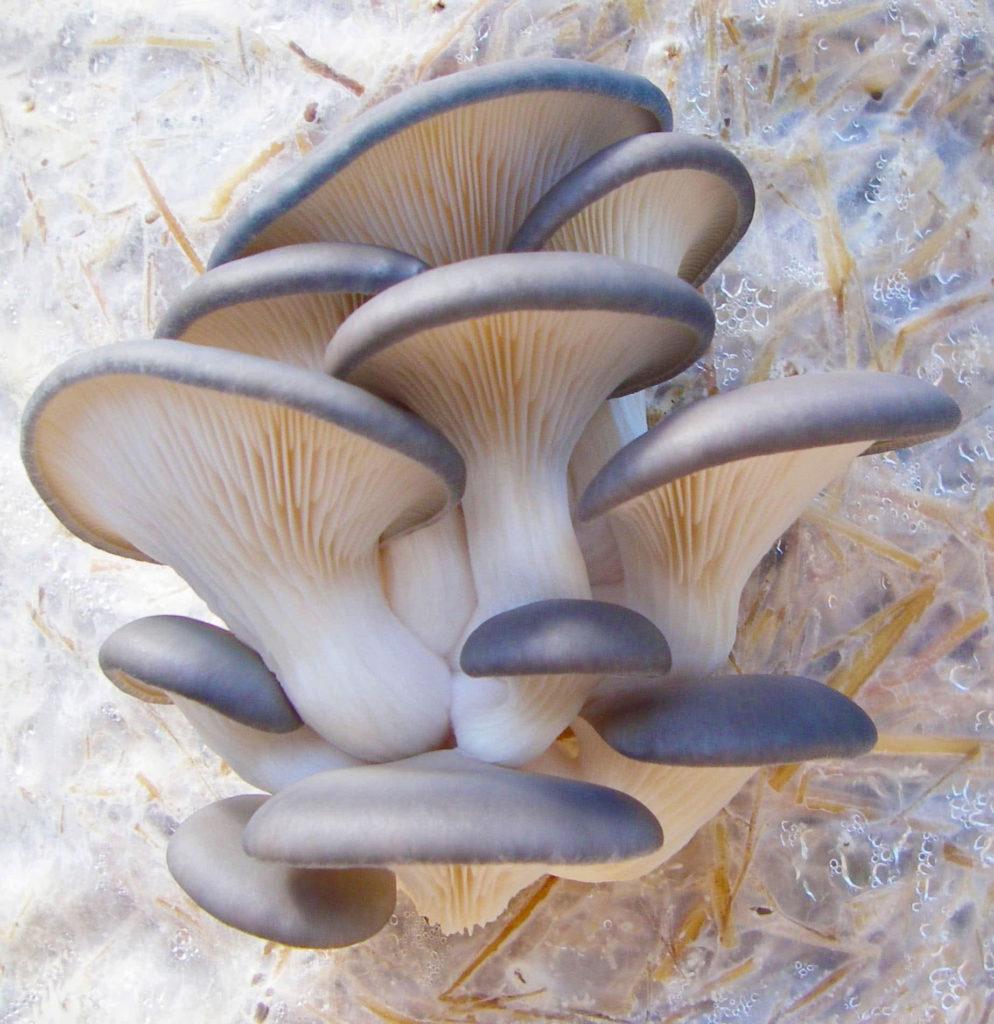 Blue Oysters Mushroom