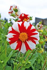 Fire and Ice Mignon Dahlia