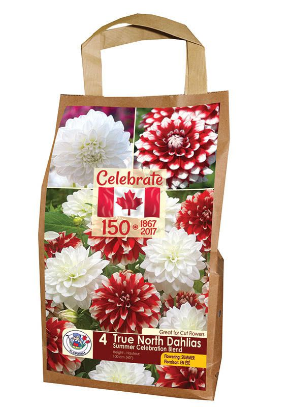 True North Dahlias - Summer Celebration Blend - Flowering in Summer