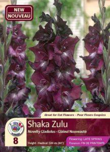 Shaka Zulu - Novelt Gladiolus - Flowering in Late Spring